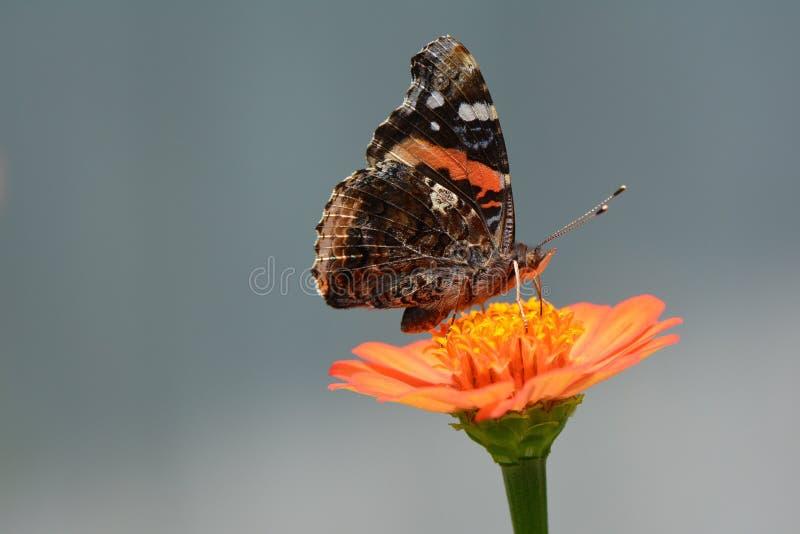 Download 红蛱蝶蝴蝶桔子百日菊属 库存图片. 图片 包括有 详细资料, 宏指令, 海军上将, 橙色, 本质, 栖息 - 59102309