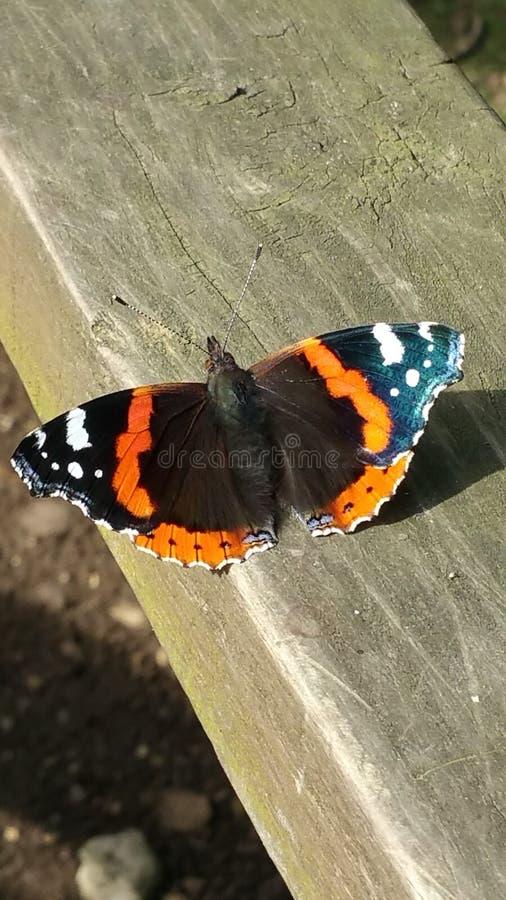 红蛱蝶 图库摄影
