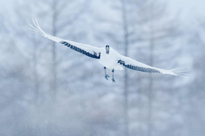 红被加冠的起重机,粗碎屑japonensis,与开放翼的飞行的白色鸟,北海道,日本 与大白色黑起重机的冬天 Wildlif 库存照片
