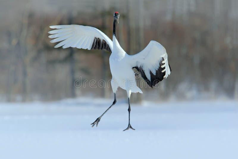 红被加冠的起重机,粗碎屑japonensis,与开放翼的飞行的白色鸟,有雪风暴的,冬天场面,北海道,日本 免版税库存照片