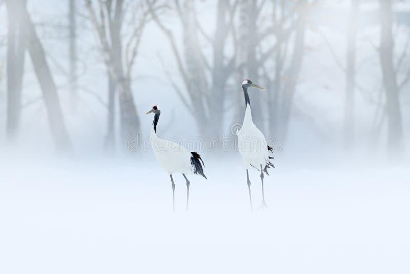 红被加冠的起重机,粗碎屑japonensis,走在雪,北海道,日本 美丽的鸟在自然栖所 野生生物场面为 免版税库存图片