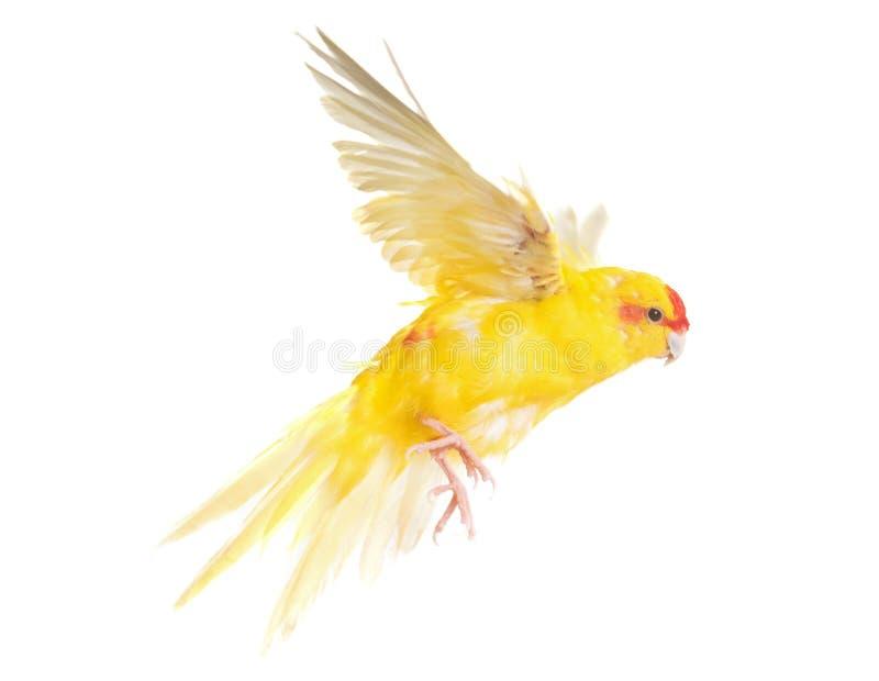 红被加冠的长尾小鹦鹉在演播室 免版税图库摄影