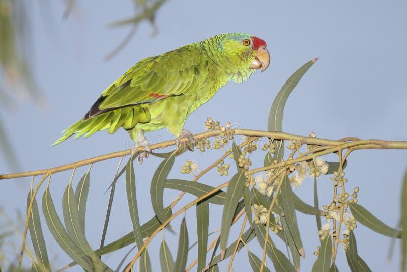 红被加冠的鹦鹉-得克萨斯 库存图片