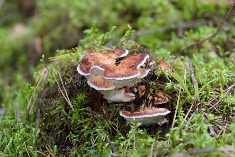 红被围绕的多孔菌Fomitopsis pinicola在森林里,地衣蘑菇,自然背景 库存图片
