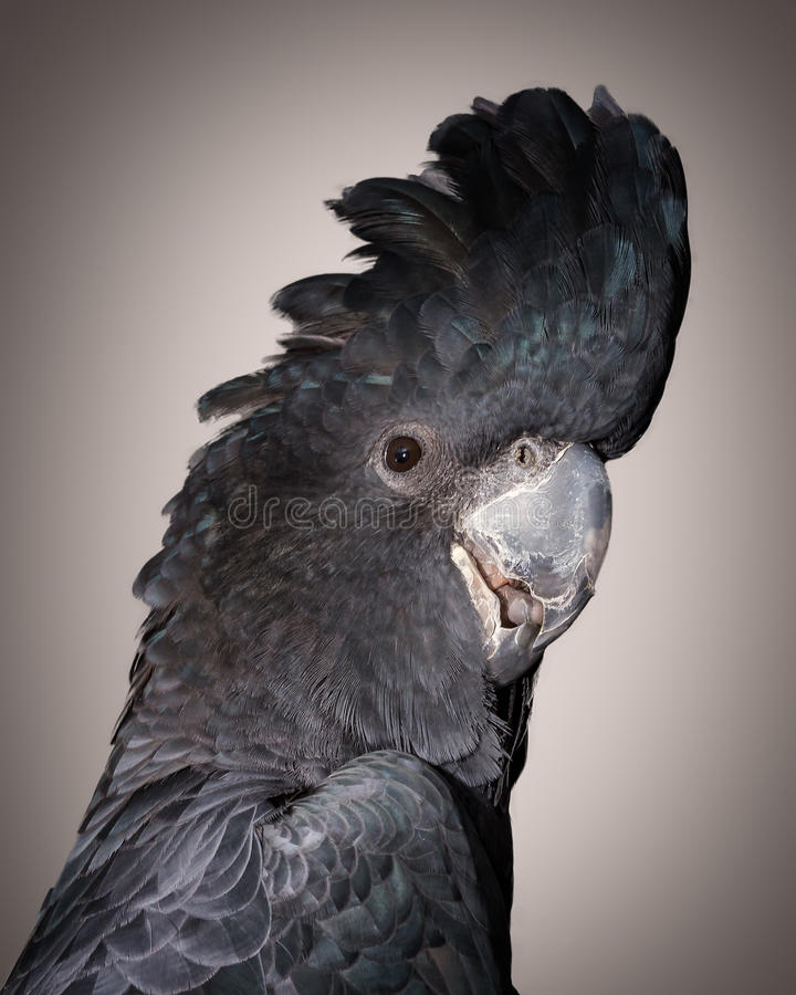 红被盯梢的美冠鹦鹉 免版税库存照片