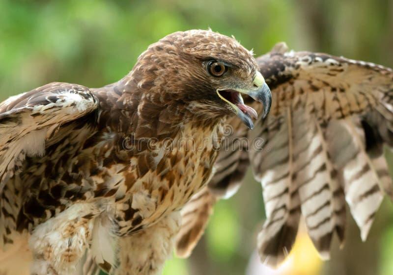 红被盯梢的鹰或鵟鸟jamaicensis特写镜头画象 库存照片
