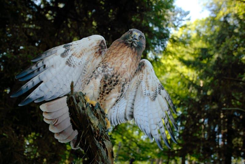 红被盯梢的鹰,鵟鸟jamaicensis,鸷与开放票据的画象与被弄脏的栖所在背景,绿色森林,美国中 免版税库存图片