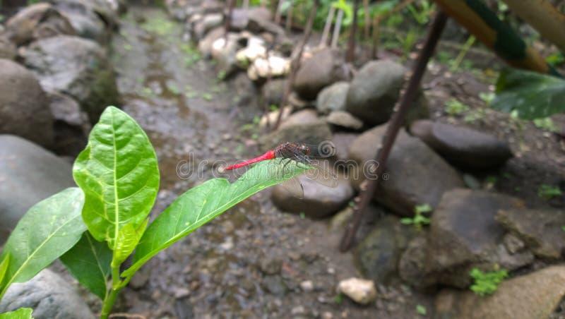 红被盯梢的蜻蜓 免版税库存照片