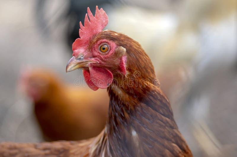 红褐色的母鸡鸟在农场的庭院里,公共家畜画象  库存图片
