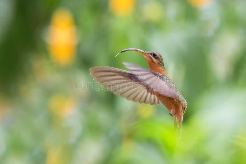 红褐色breasted隐士Glaucis hirsutus盘旋在天空中的,caribean热带森林,特立尼达和多巴哥,蜂鸟 免版税图库摄影