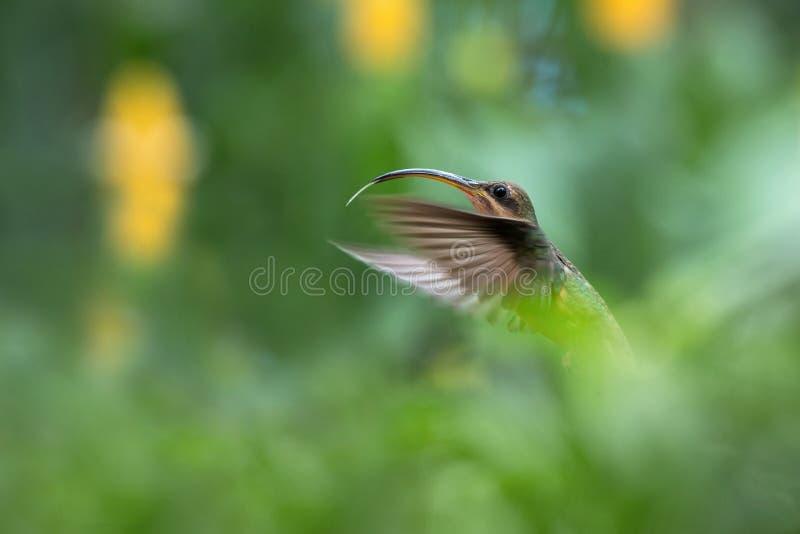 红褐色breasted隐士Glaucis hirsutus盘旋在天空中的,caribean热带森林,特立尼达和多巴哥,鸟 库存照片