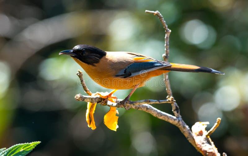 红褐色Sibia himlayan鸟 库存图片