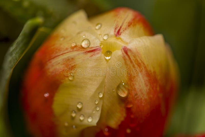 红郁金香花瓣宏上的水滴 免版税库存图片