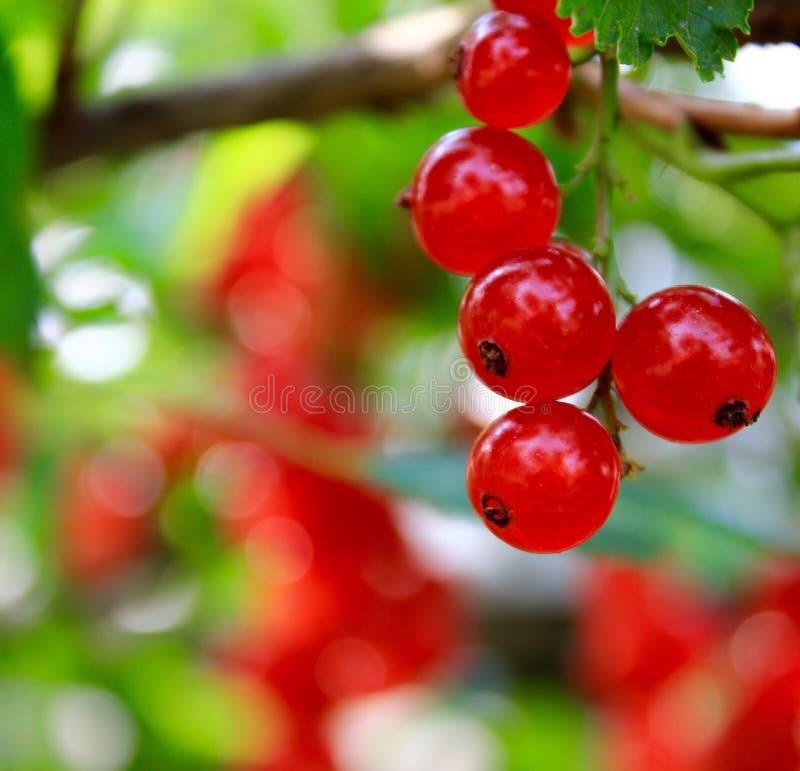 红醋栗在夏天庭院里 库存图片