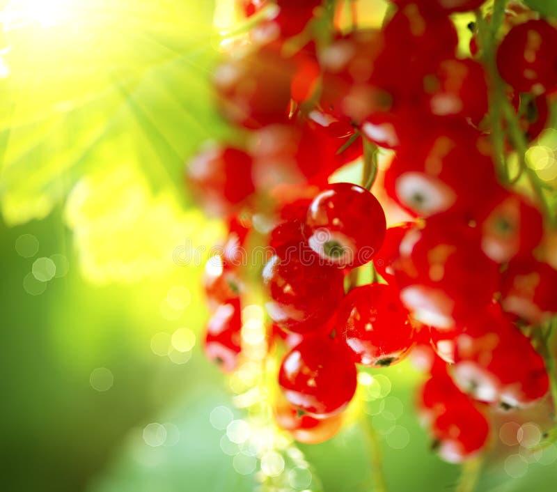 红醋栗 浆果无核小葡萄干红色成熟 图库摄影