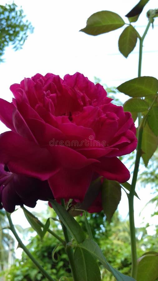 红颜色玫瑰在晚上 免版税库存图片