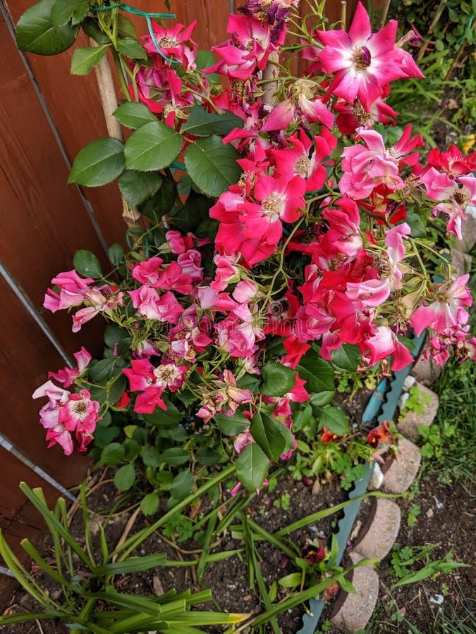 红颜色花的图象与绿色叶子的在庭院里 库存图片