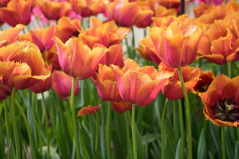 红颜色郁金香在一个庭院里开花在利瑟,荷兰, Europ 库存照片