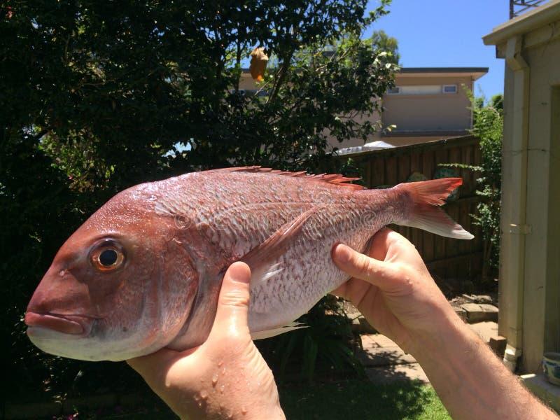 红鲷鱼鱼 库存图片