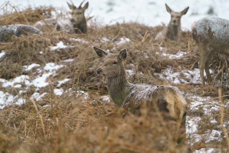红鹿市在雪的鹿elaphus 库存图片