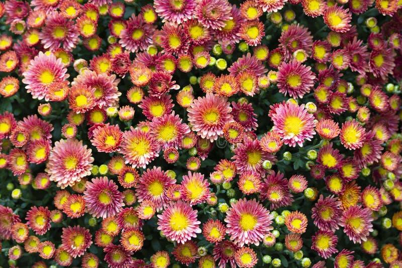 红黄色花贴墙纸,菊花翠菊雏菊 多彩多姿的花,四季不断的花小头  免版税库存照片
