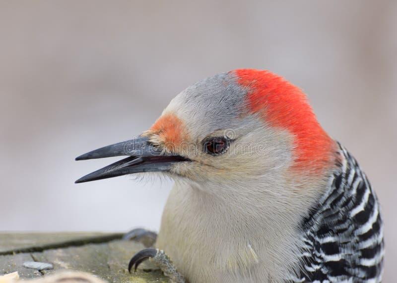 红鼓起的啄木鸟头射击 免版税图库摄影