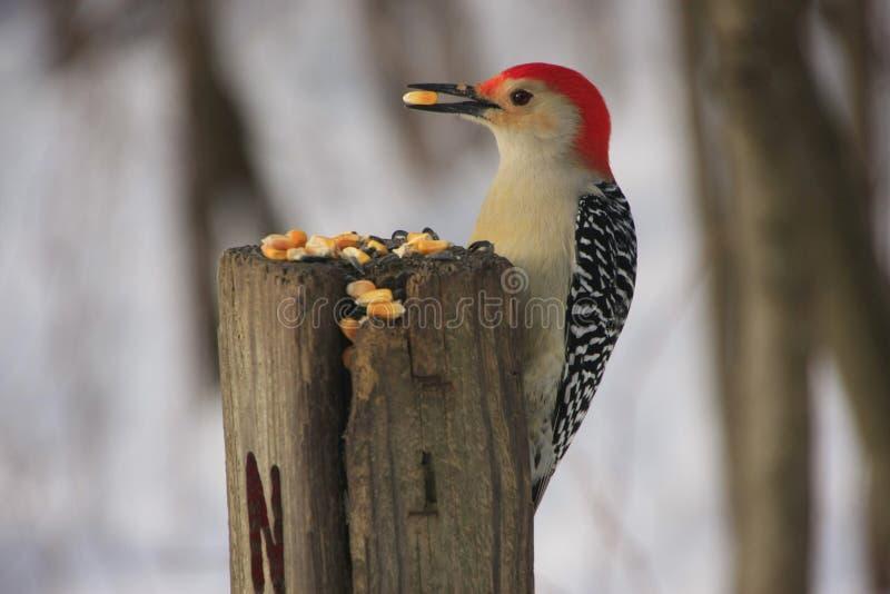 红鼓起的啄木鸟(Melanerpes carolinus) 库存照片