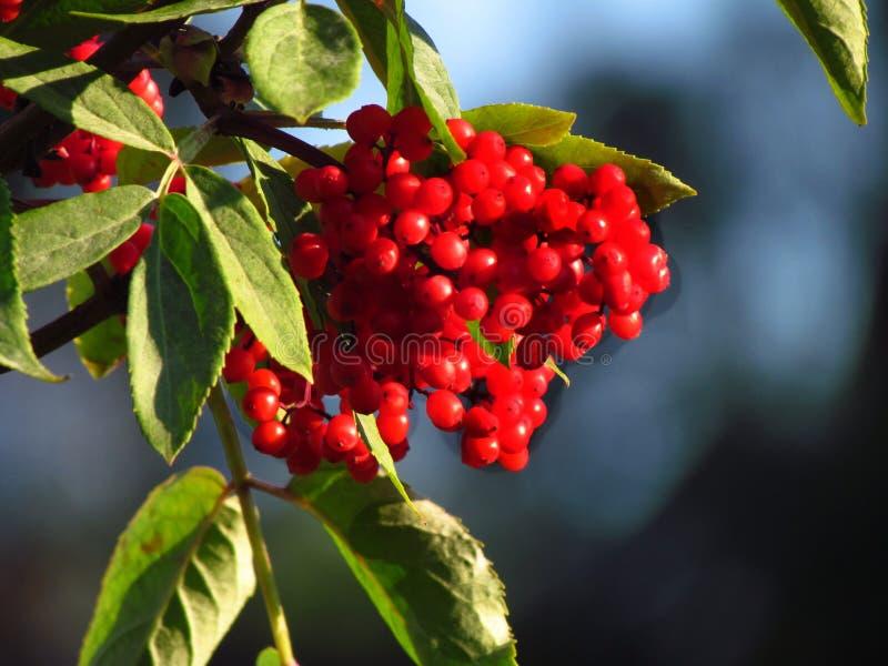红berried长辈,接骨木花racemosa,红色接骨木浆果,在分支的成熟红色莓果 免版税库存照片