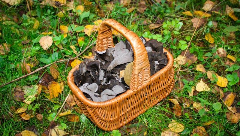 纤巧采蘑菇,在篮子的黑黄蘑菇Craterellus cornucopioides 图库摄影