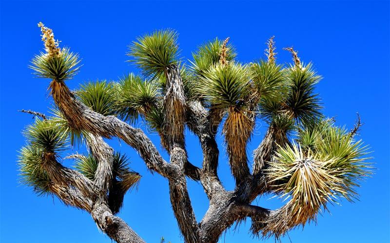 约书亚国家公园结构树 库存照片