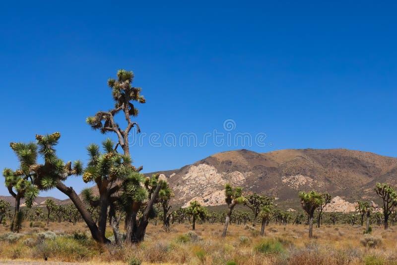 约书亚树国家公园,莫哈韦沙漠 库存图片