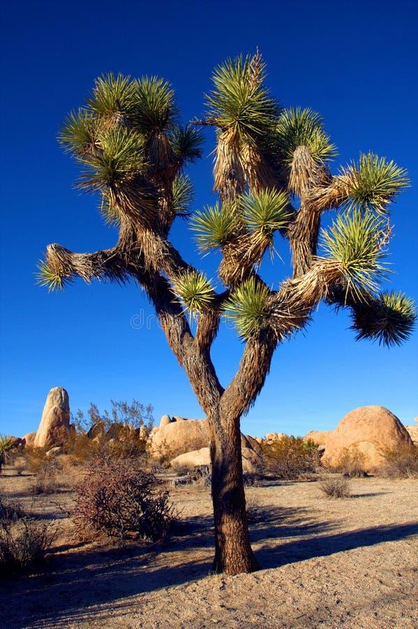 约书亚树在约书亚树国家公园,加利福尼亚,美国 免版税库存照片