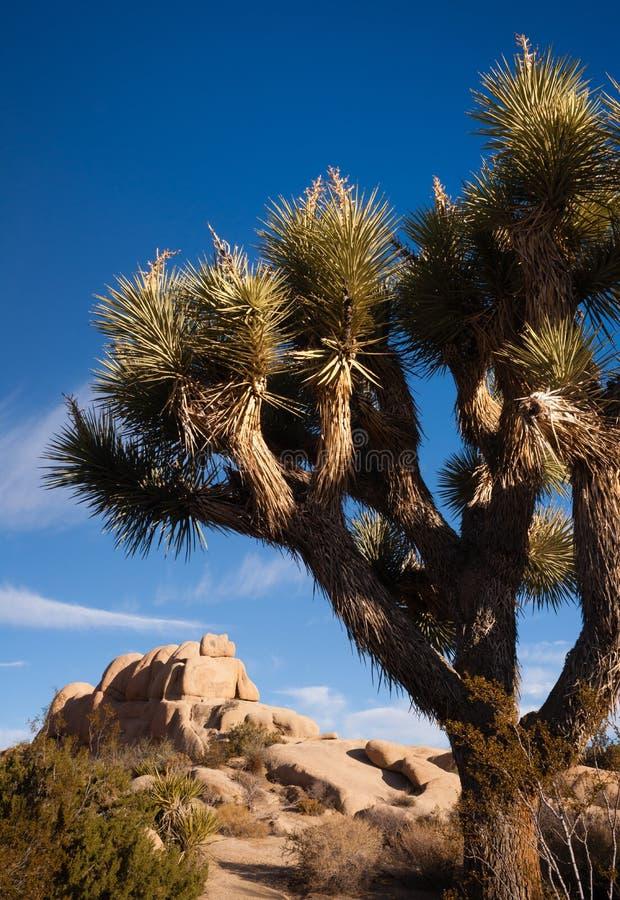约书亚树日出云彩风景加利福尼亚国家公园 免版税图库摄影