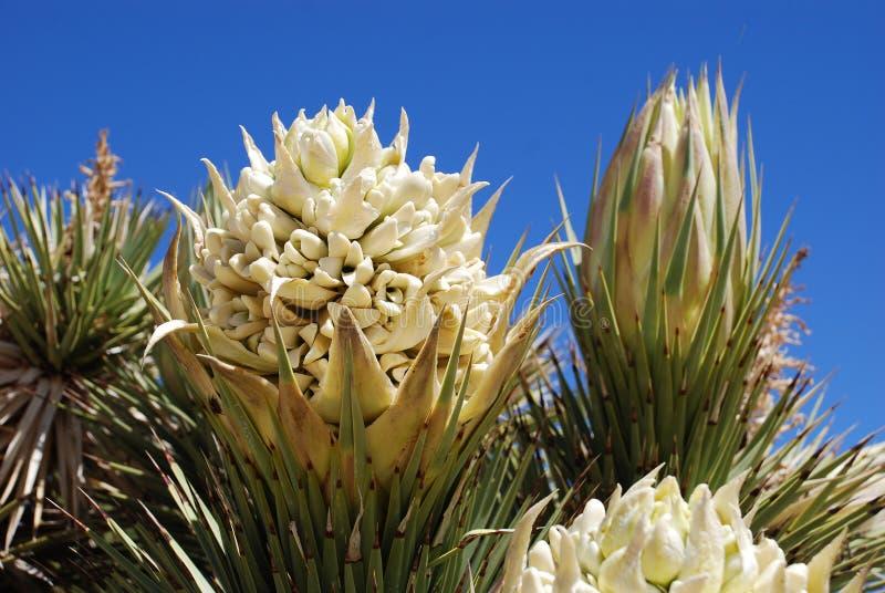 约书亚树(丝兰brevifolia)花 免版税库存图片