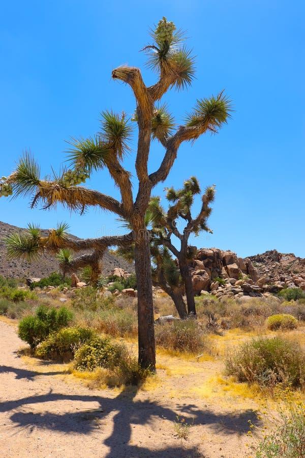 约书亚树 莫哈韦沙漠,南加州 免版税库存照片