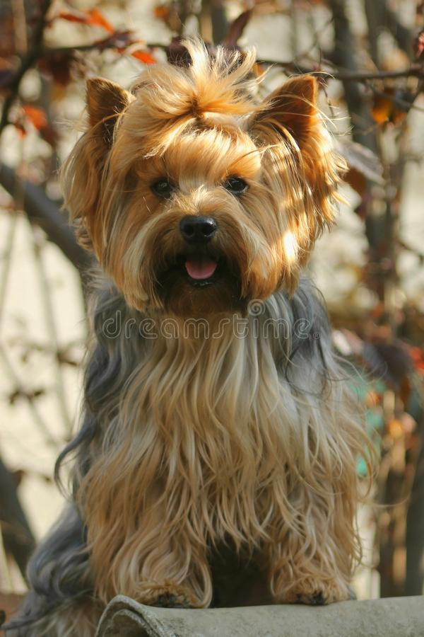 约克夏狗在我小的庭院里 库存照片