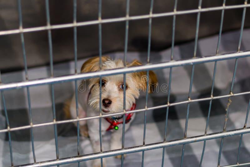 约克夏狗在金属笼子的狗品种在兽医诊所 免版税库存图片
