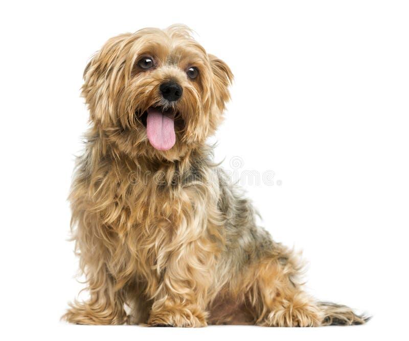 约克夏狗开会,气喘, 5岁 图库摄影
