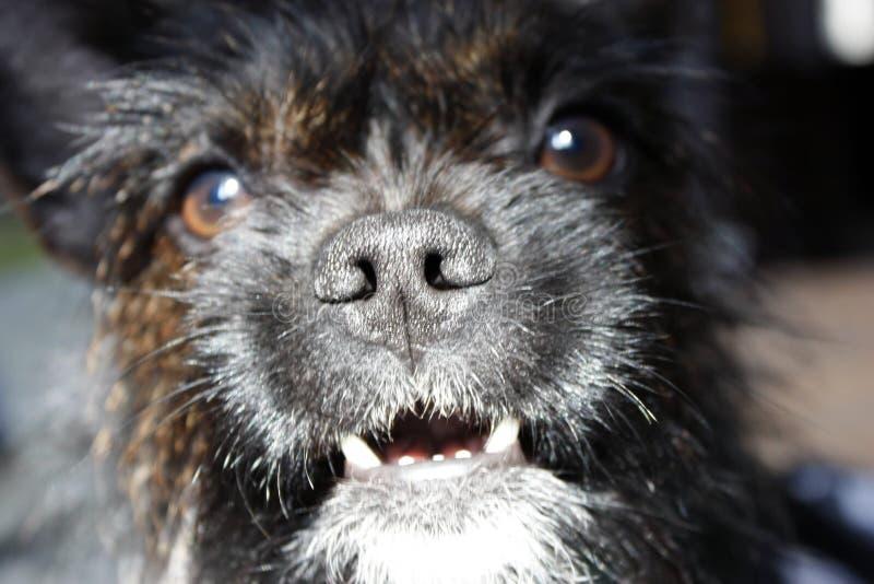 约克夏狗牛头犬与看照相机,特写镜头的红色的混合黑色 免版税库存图片