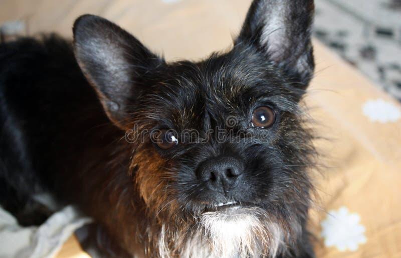 约克夏狗牛头犬与看照相机,特写镜头的红色的混合黑色 库存图片