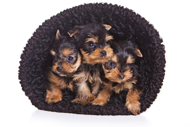 约克夏狗的三只小狗在帽子的 库存照片