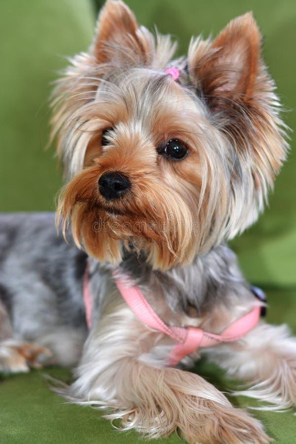 约克夏狗的小狗,狗在一个绿色沙发,一张大小狗画象,垂直格式,8个月小狗说谎  库存照片