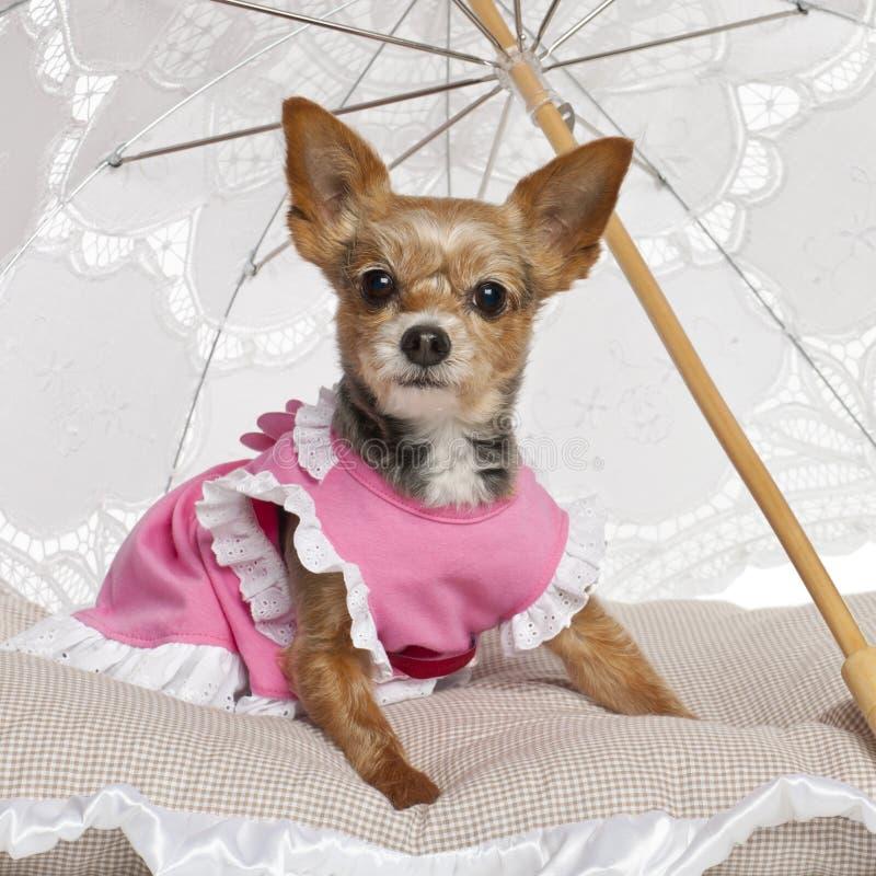 约克夏狗, 9岁,坐 免版税库存照片