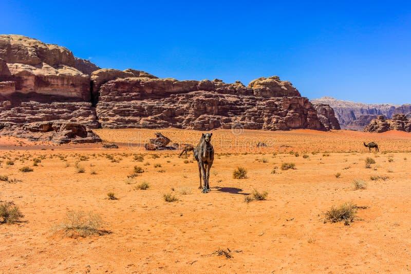 约旦瓦地伦骆驼,沙漠游人地点 图库摄影