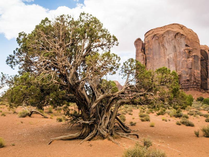 纪念碑谷,老树-亚利桑那, AZ 免版税库存照片
