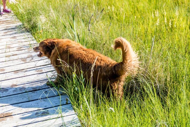 纯净的助长的金黄Retreiver游泳以各种各样的池塘和湖 库存照片