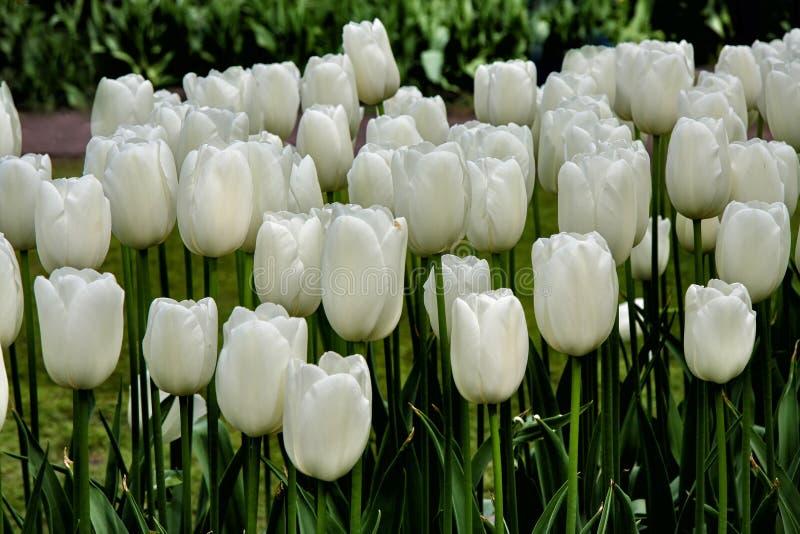 纯净的白色郁金香在郁金香领域开花 免版税库存图片