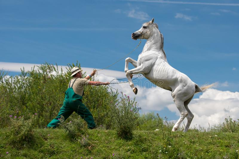 纯净的阿拉伯白马在与教练员的训练天 库存照片