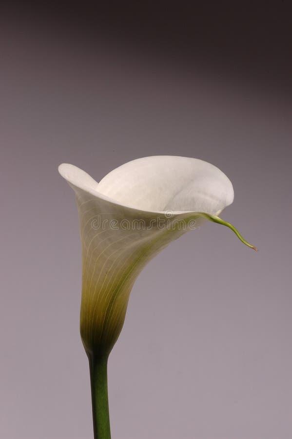 纯白的水芋属 免版税库存照片