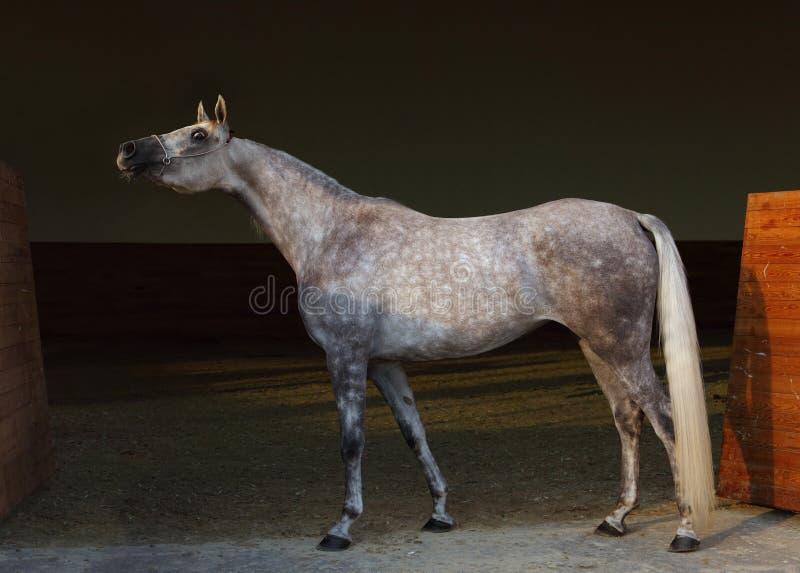 纯血统阿拉伯马,画象起斑纹与首饰辔的灰色母马在黑暗的背景中 免版税库存图片